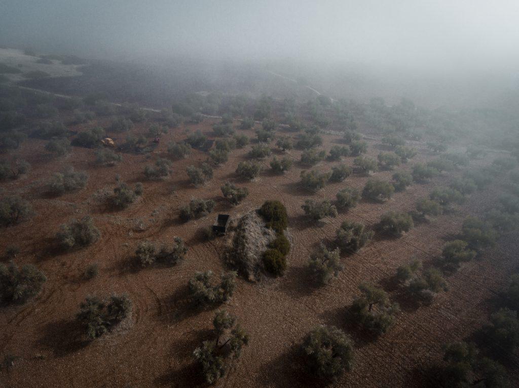 Olivar entre niebla a mediados de noviembre